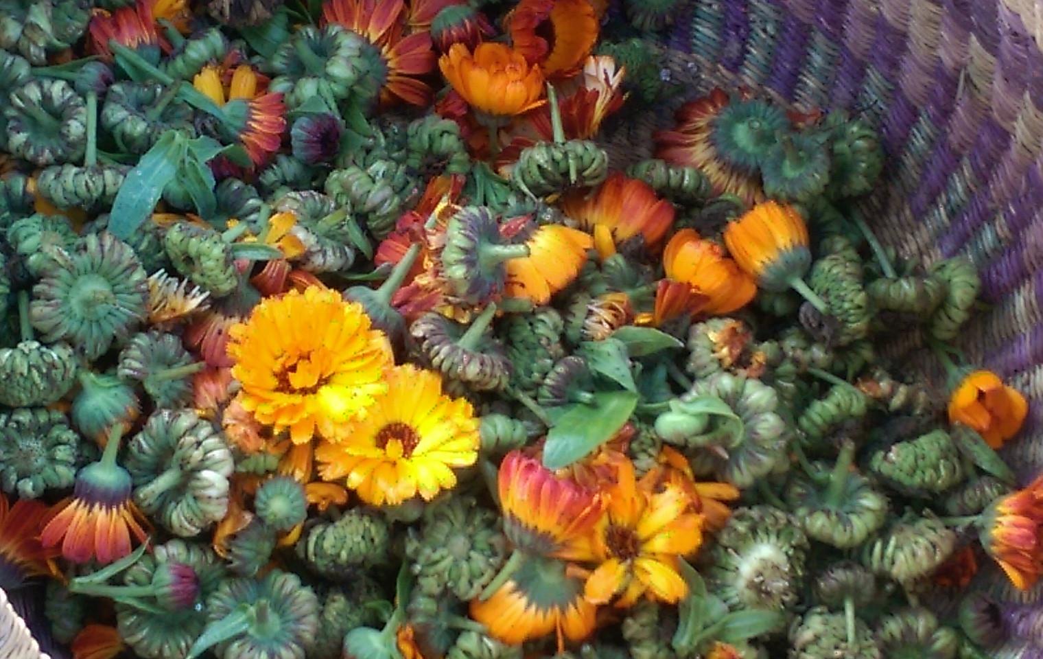Fresh harvested organic calendula
