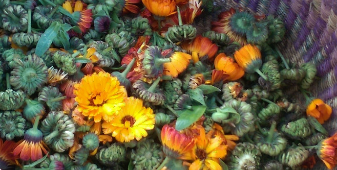 Fresh harvested organic calendula