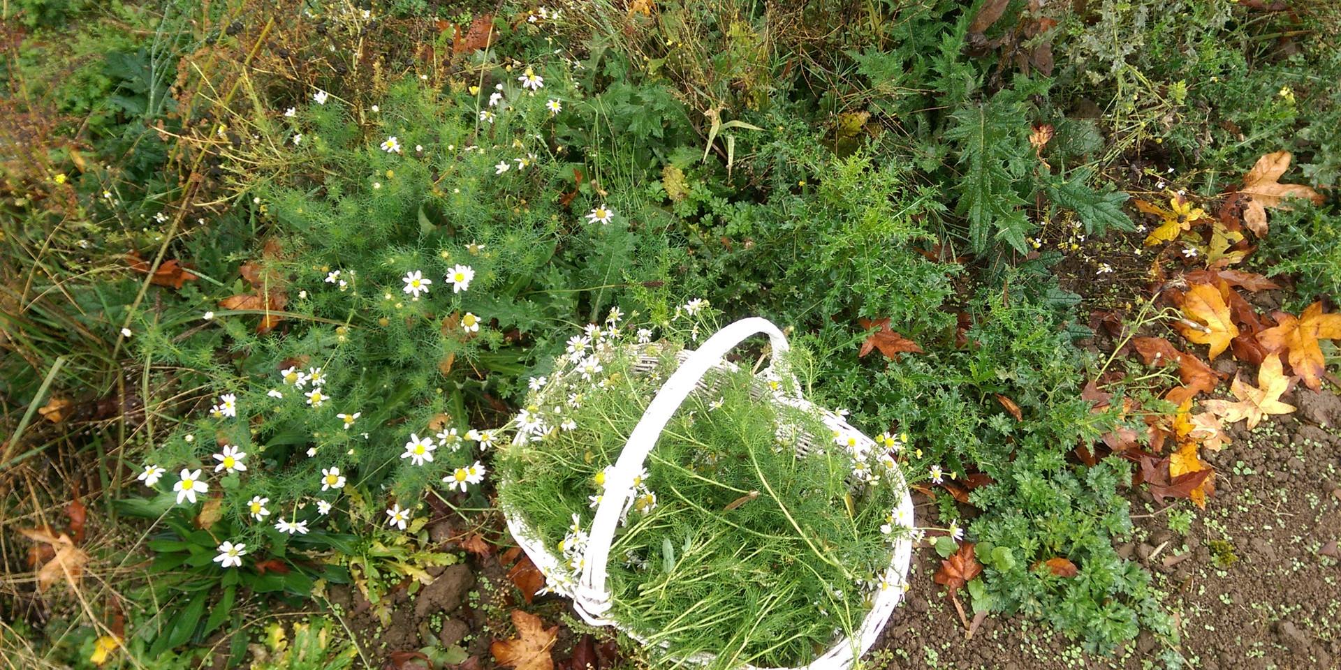 Wild Harvest Chamomile
