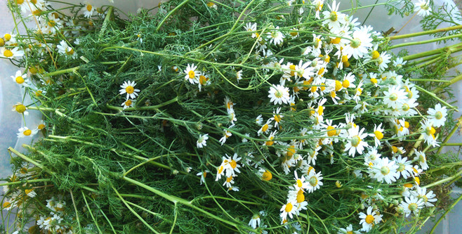 Fresh wild harvested chamomile