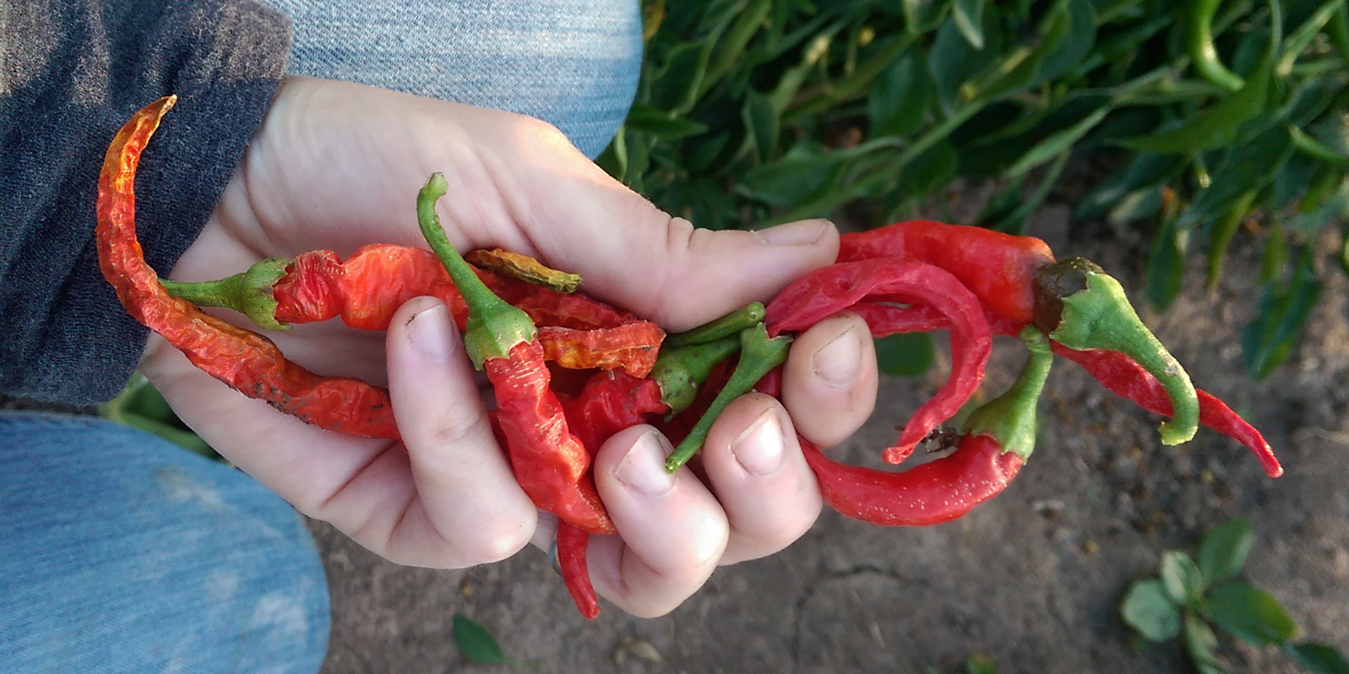 Dried on plant cayene peppers
