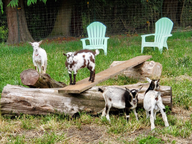 The Goats of Keddie Farms