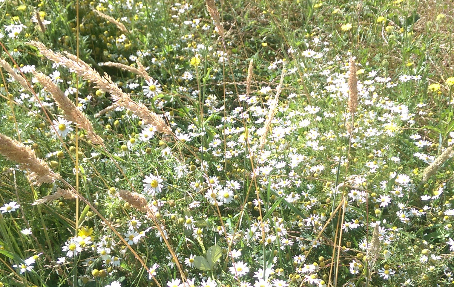 Wild Chamomile Field
