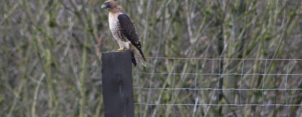 One of the local Hawks visiting