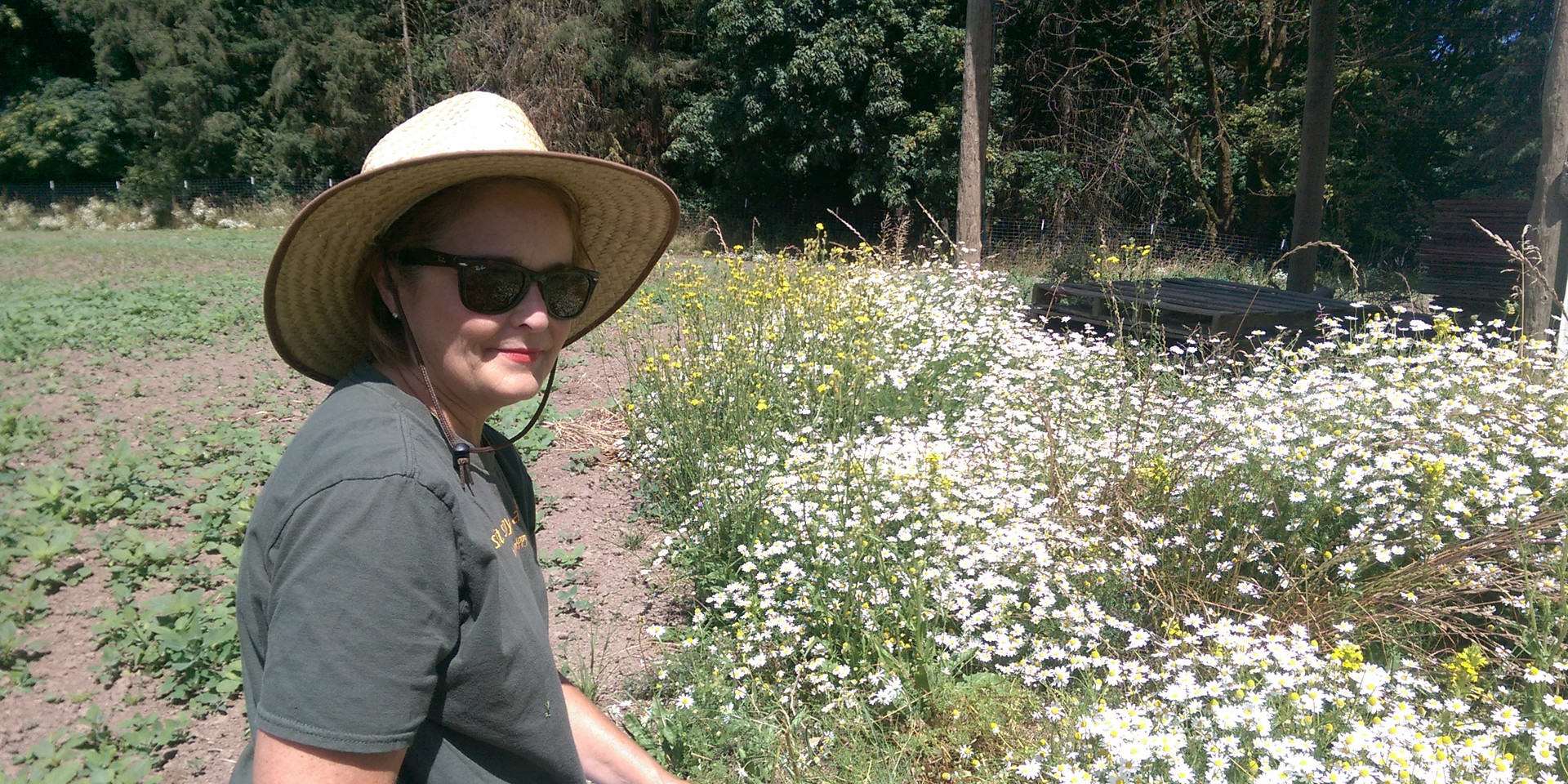 Harvesting Wild Chamomile