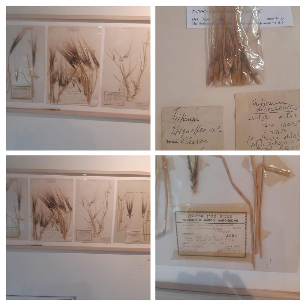 אם החיטה באוסף הצמחים הלאומי