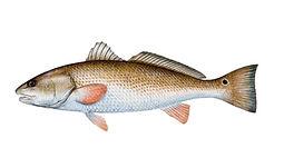 redfish-620x324.jpg