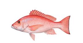 red-snapper-620x324.jpg