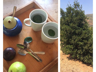 BOLDO - typical Chilean plant and natural medicine against stomach aches
