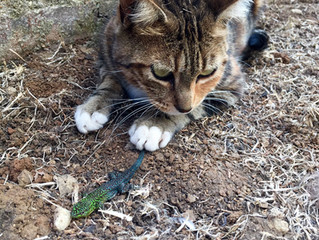 Our Cat Lilly found a beautiful lizard