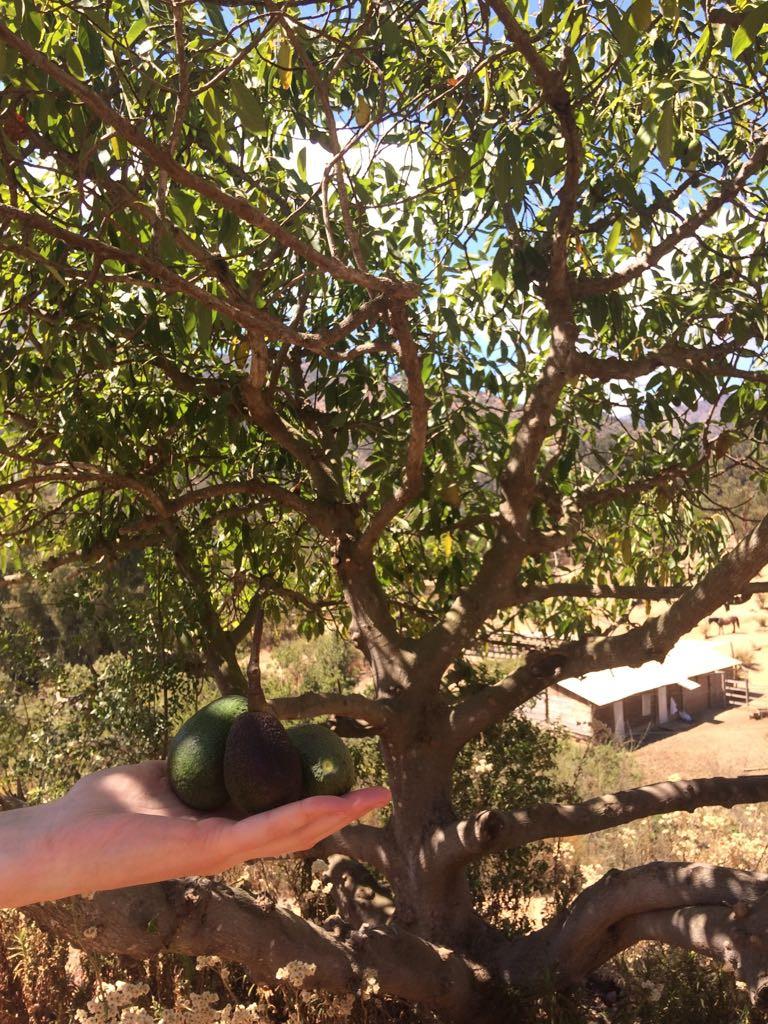 palta tree - avocado