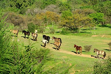 Horses on campesano ranch