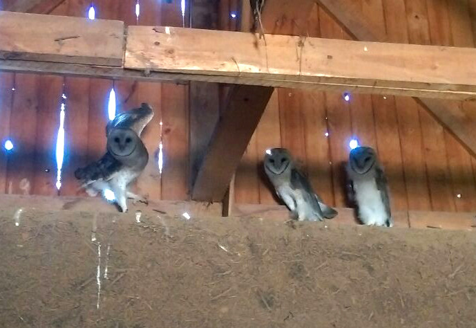 owls in campesano barn