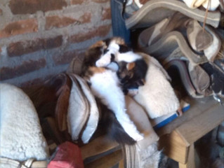 Comfortable saddles, the cats love them