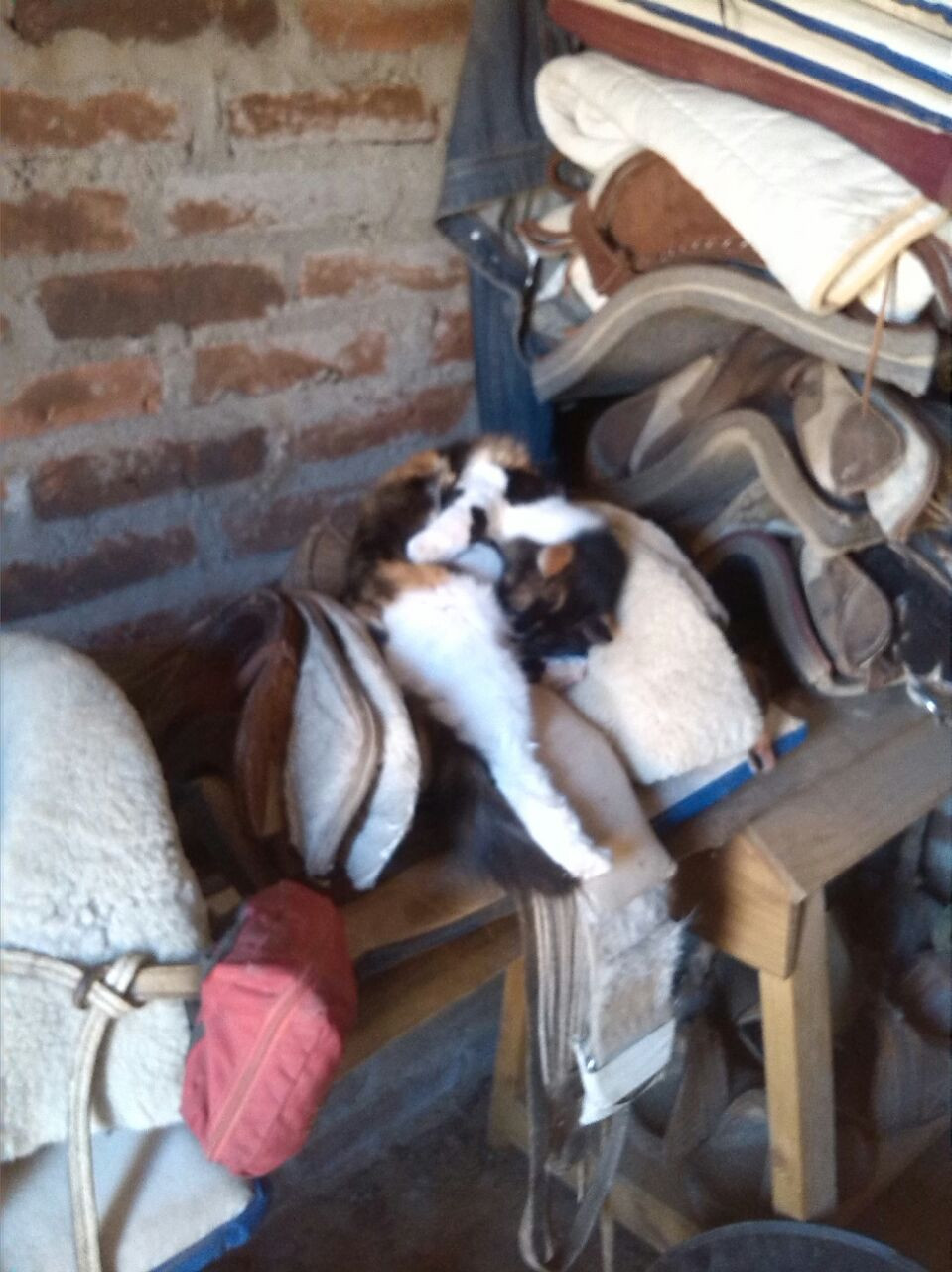 chilean saddle with sleeping cat