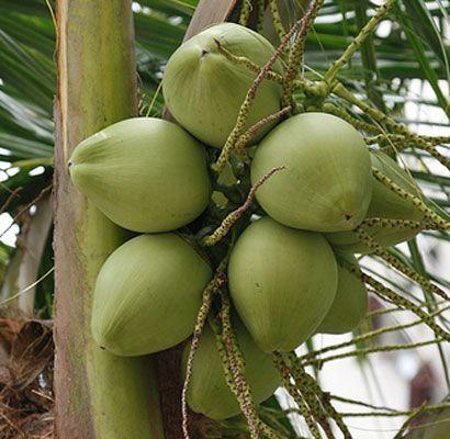 Coconut oil / Kokosriekstu eļļa