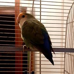 10/15/2020 Trovato pappagallino