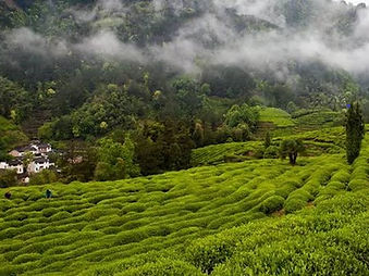 Tea Garden Hills