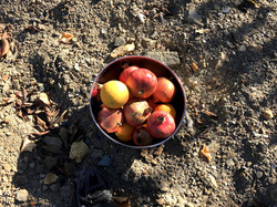 Pomegranades directly from the tree