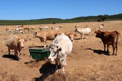 Cow's habitat