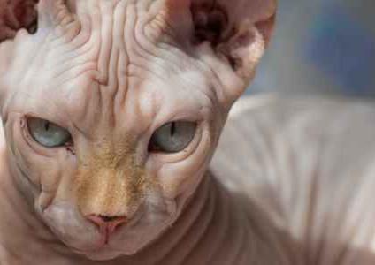 Sacred Tension [UNLOCKED] House of Heretics: Cat Ejaculation