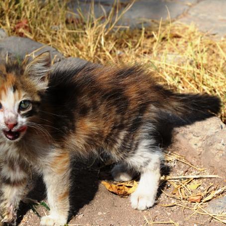 מצאתי גור חתולים נטוש - מה עושים?