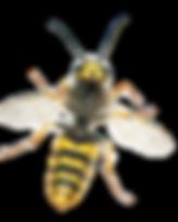 insekt-wespe-nahansicht-45867_edited_edi