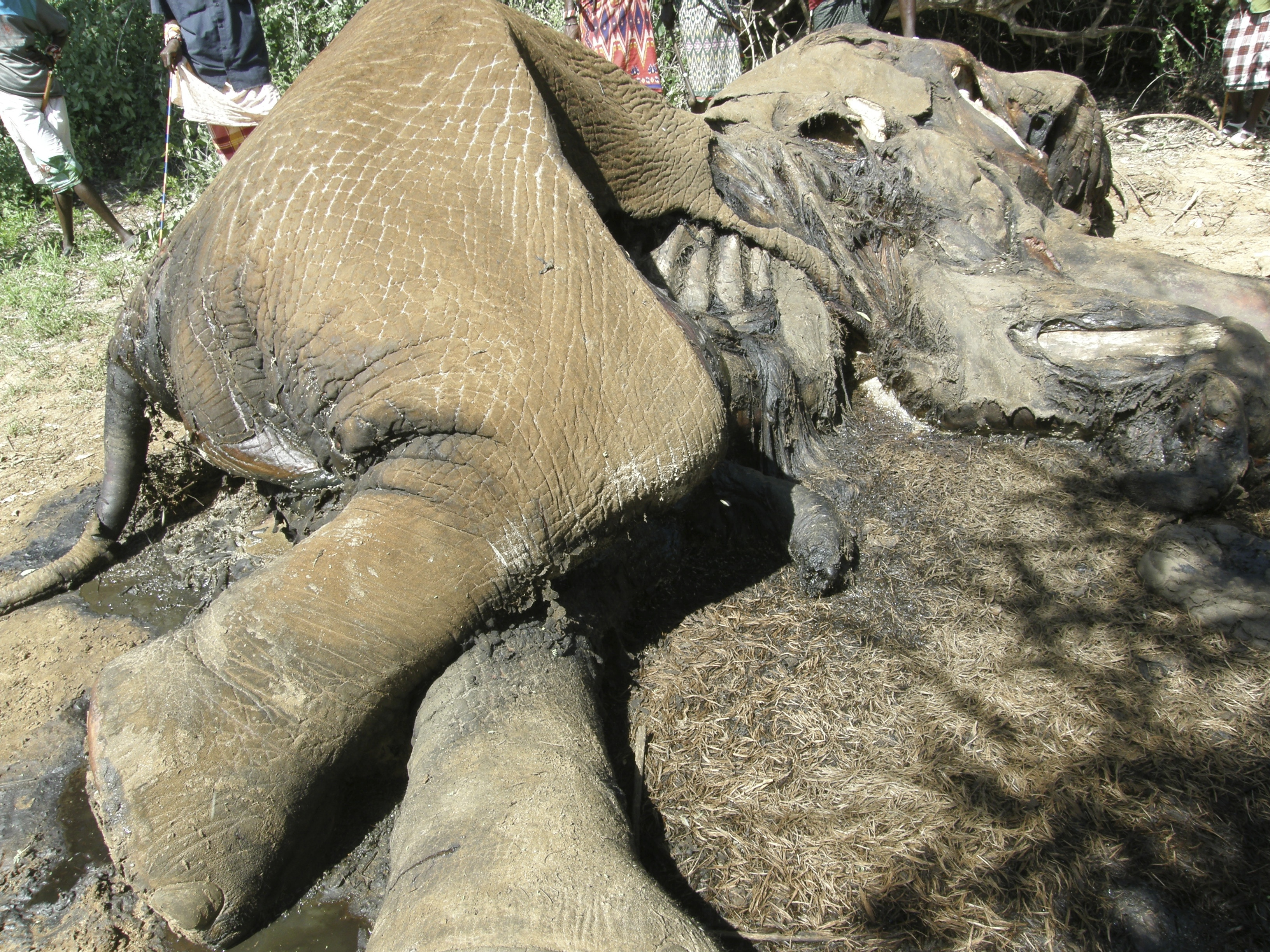 a killed by poacher