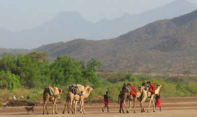Camels walking safari