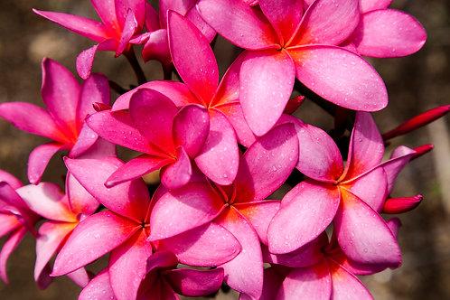 Plumeria Pink
