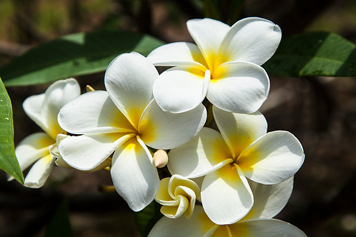 Plumeria Hawaiian Yellow
