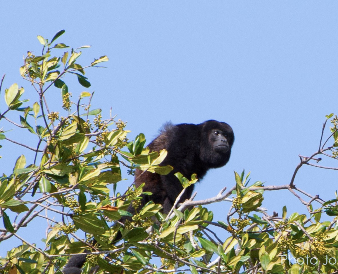 Howler monkey (Allouata palliata)