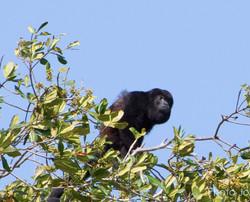 Howler monkey (Allouata palliata)