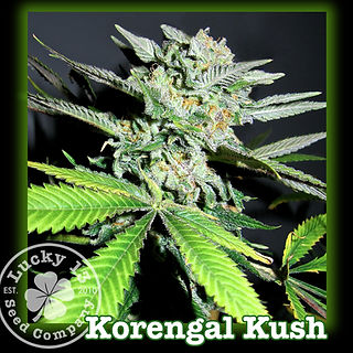 Korengal Kush, Lucky 13 SeedsNEW.jpg
