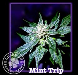 Mint Trip, Lucky 13 Seeds