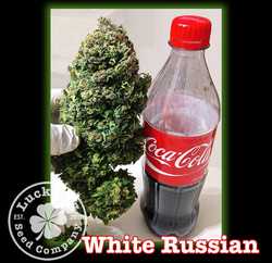 White Russian, Lucky 13 SeedsNEW