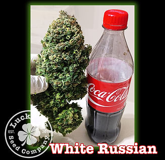 White Russian, Lucky 13 SeedsNEW.jpg