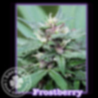 Frostberry, Lucky 13 Seeds.jpg