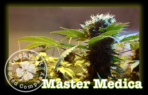 Master Medica, Lucky 13 Seeds