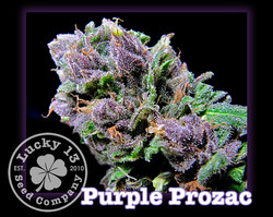 Purple Prozac, Lucky 13 Seeds