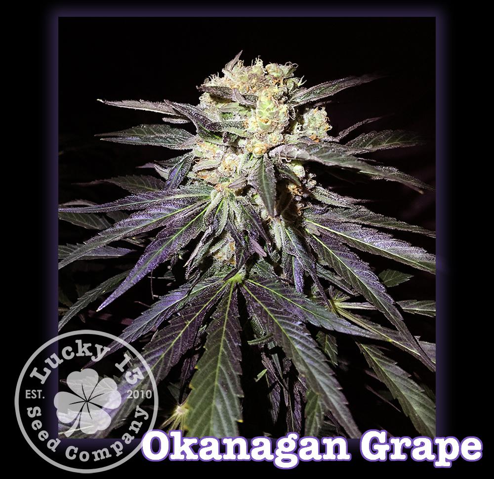 Okanagan Grape, Lucky 13 SeedsNEW