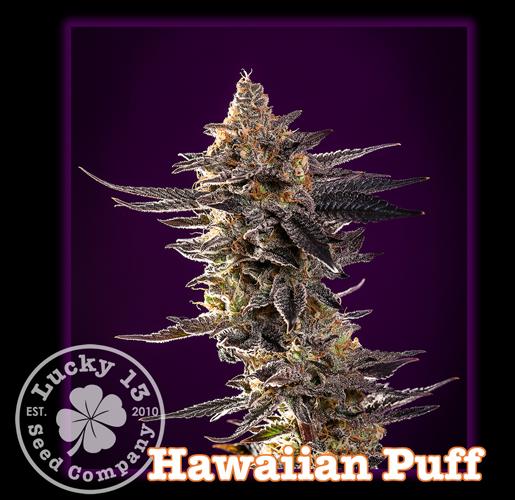 Hawaiian Puff, Lucky 13 Seeds