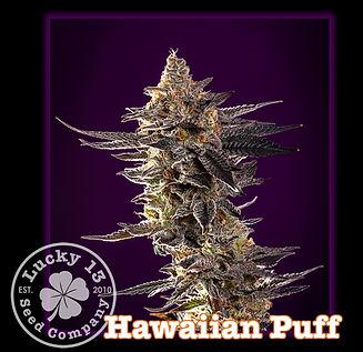 Hawaiian Puff, Lucky 13 Seeds.jpg