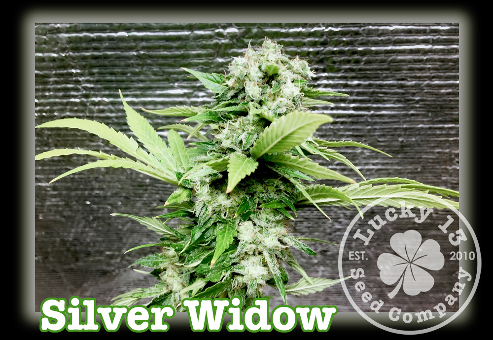 Silver Widow, Lucky 13 SeedsNEW