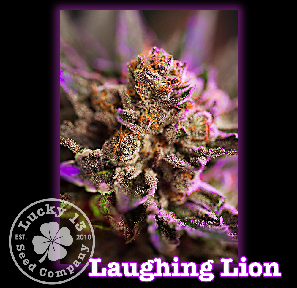 Laughing Lion, Lucky 13 SeedsNEW