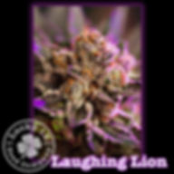 Laughing Lion, Lucky 13 SeedsNEW.jpg