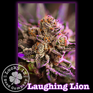 Laughing Lion, Lucky 13 SeedsNEW.jpg