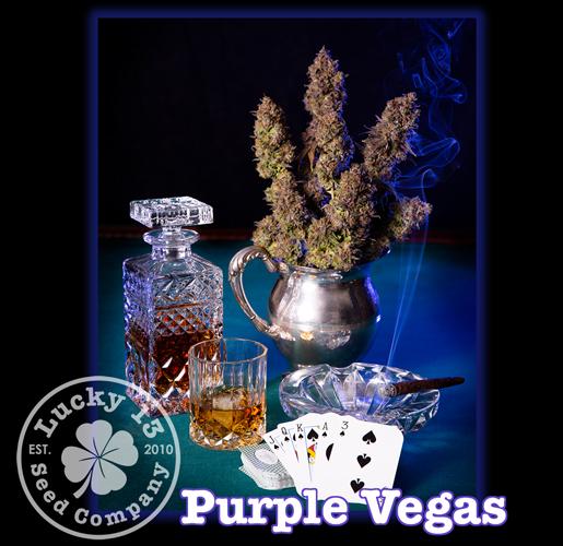 Purple Vegas, Lucky 13 Seeds