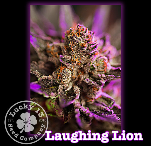 Laughing Lion, Lucky 13 Seeds.jpg