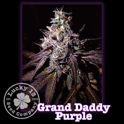 Grand Daddy Purple, Lucky 13 Seeds